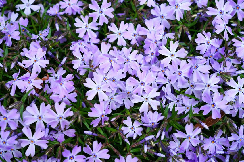 Floksy w ogrodzie w czasie kwitnienia, a także floks szydlasty i jego uprawa