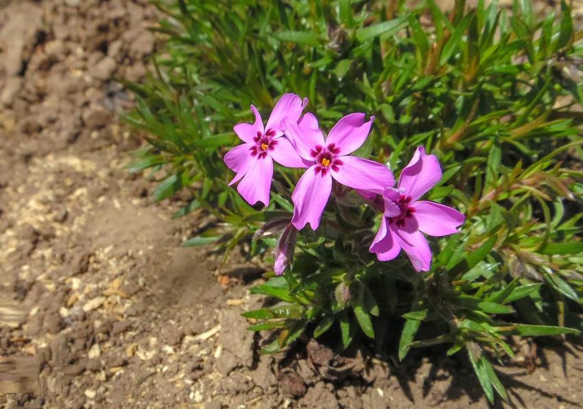 Floks szydlasty różowy w ogrodzie w czasie kwitnienia, a także jego uprawa i pielęgnacja
