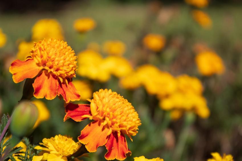 Kwiat aksamitka wzniesiona, tagetes erecta w czasie kwitnienia oraz uprawa i pielęgnacja