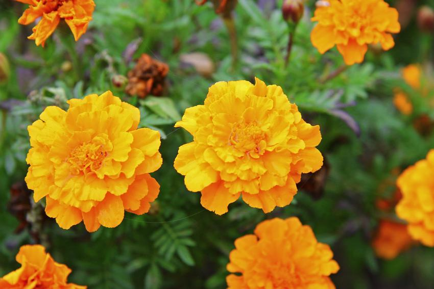 Kwiaty aksamitki w czasie kwitnienia w ogrodzie, a także aksamitka wzniesiona, tagetes erecta i jej uprawa