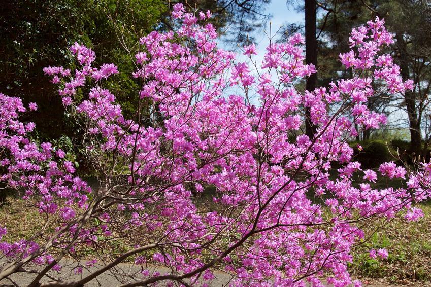 Rododendron w czasie kwitnienia, a także różanecznik japoński i azalia japońska w ogrodzie