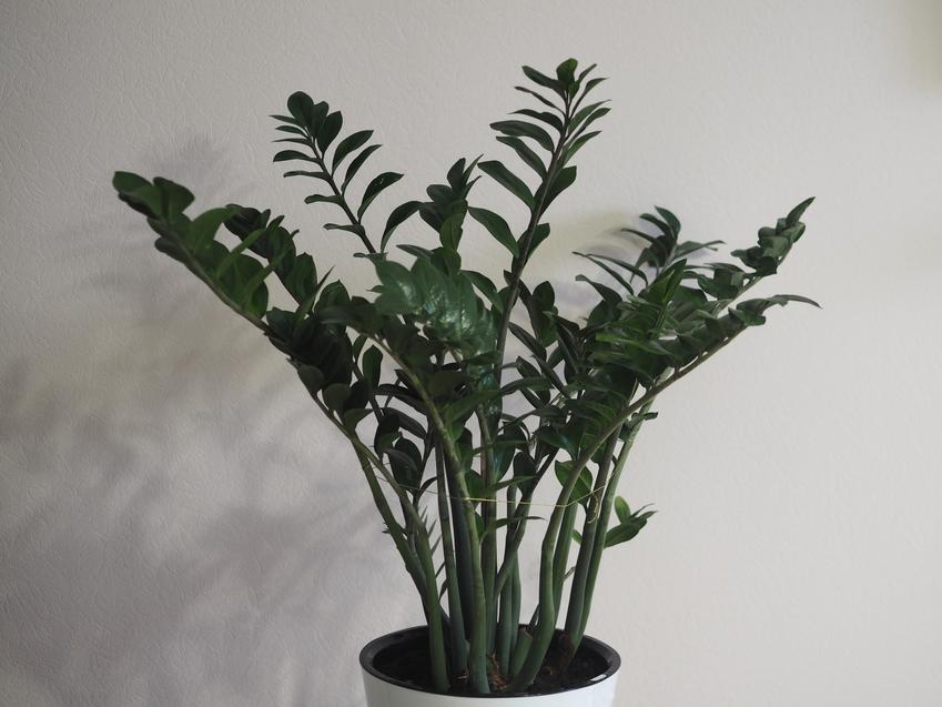Kwiat zamiokulkas zamiolistny na tle ściany, a także jego uprawa i pielęgnacja