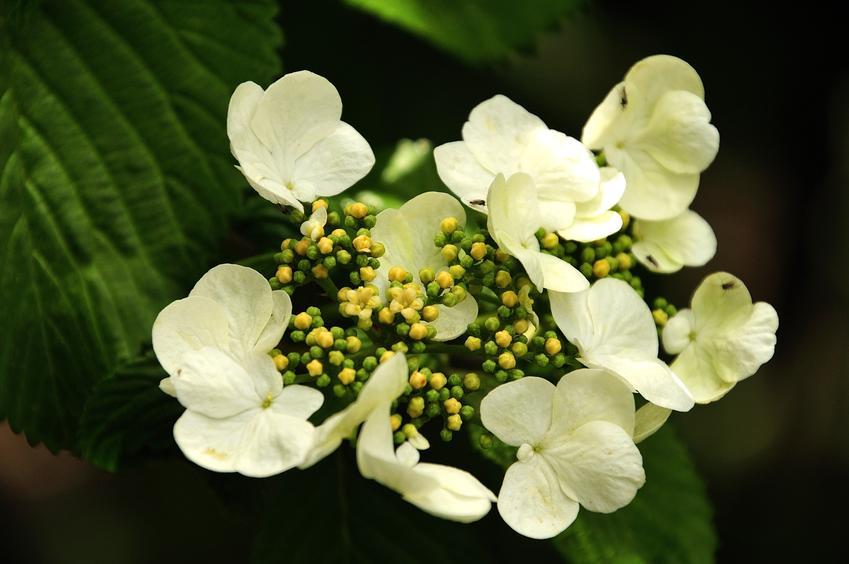 Hortensja pnąca w czasie kwitnienia i zbliżenie na kwiat, a także uprawa i pielęgnacja