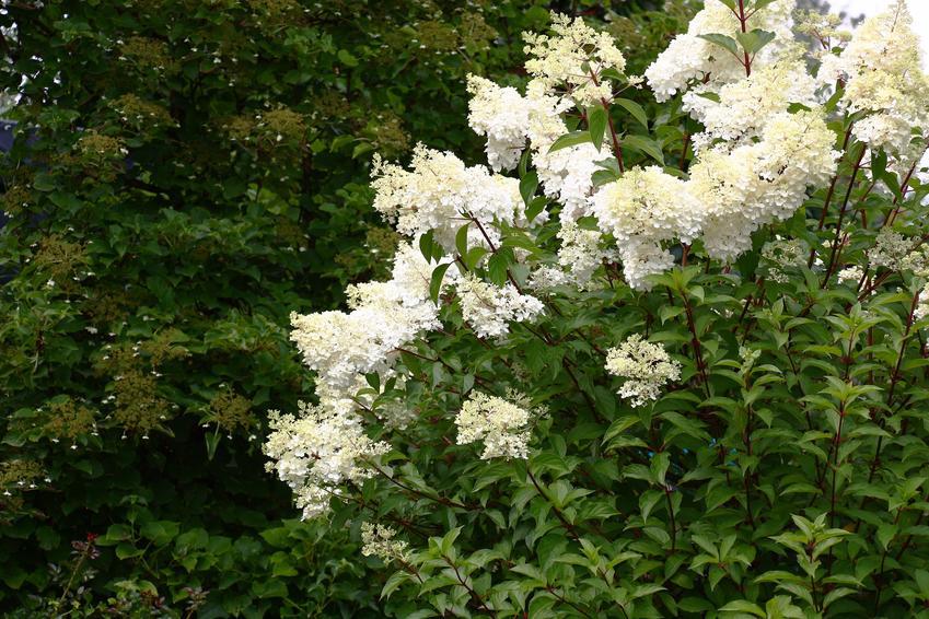 Piękny hortensja pnąca w czasie kwitnienia w ogrodzie, a także uprawa i pielęgnacja