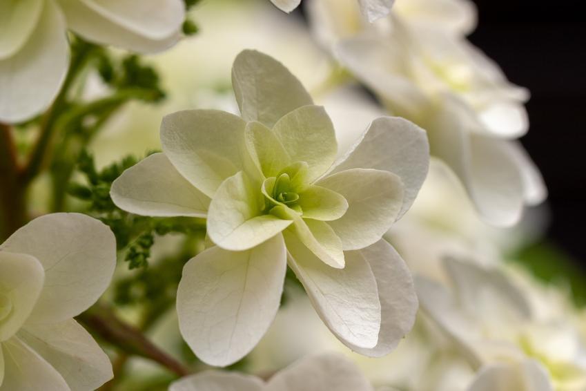 Krzew ogrodowy hortensja dębolistna w czasie kwitnienia i zbliżenie na kwiat, a także jej uprawa