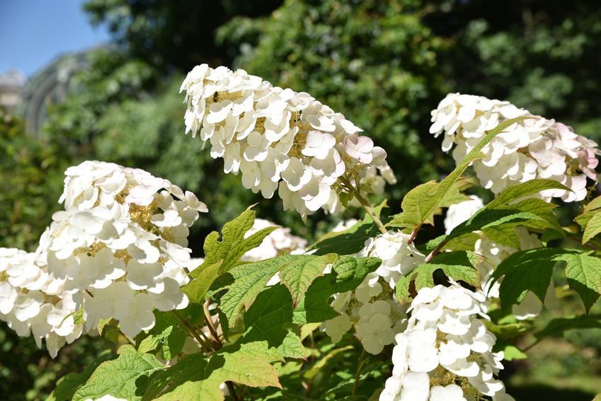 Krzew hortensja dębolistna w czasie kwitnienia w ogrodzie, a także uprawa i pielęgnacja