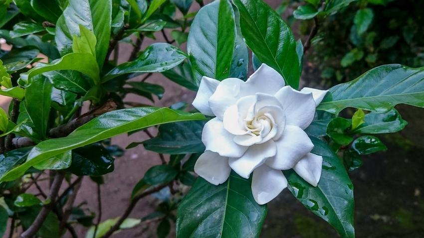 Kwiat gardenia doniczkowa w czasie kwitnienia oraz uprawa i pielęgnacja gardenii