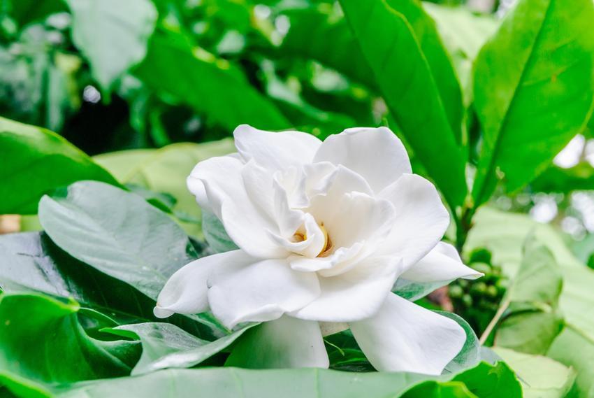 Gardenia doniczkowa i zbliżenie na kwiat oraz uprawa i pielęgnacja gardenii