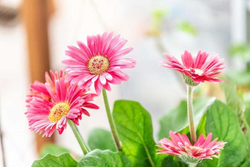 Kwiat gerbera w donicznce w czasie kwitnienia, a także uprawa i pielęgnacja