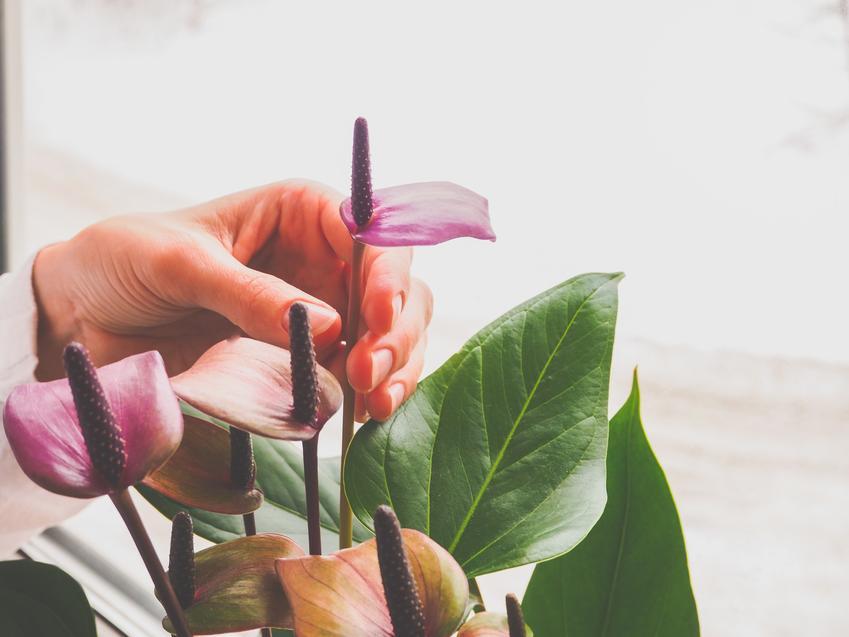 Kwiat anturium w doniczce w czasie kwitnienia, a także uprawa i pielęgnacja anturium