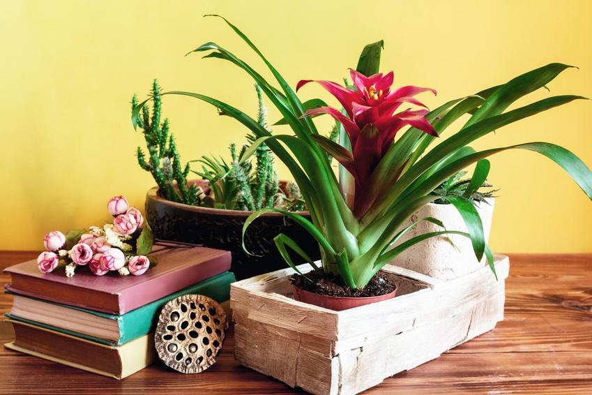 Kwiat guzmania w doniczce na półce w domu, a także uprwa i pielęgnacja