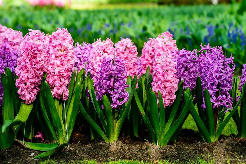 Hiacynty w ogrodzie podczas kwitnienia, a także hiacynt w domu, cebulki hiacyntów, pielęgnacja hiacyntów