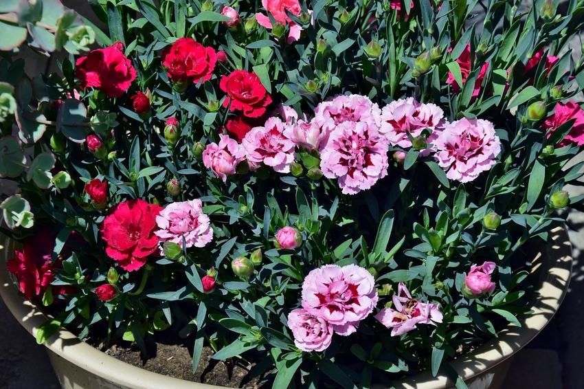 Goździki w doniczce w czasie kwitnienia, a także odmiany, pielęgnacja i uprawa