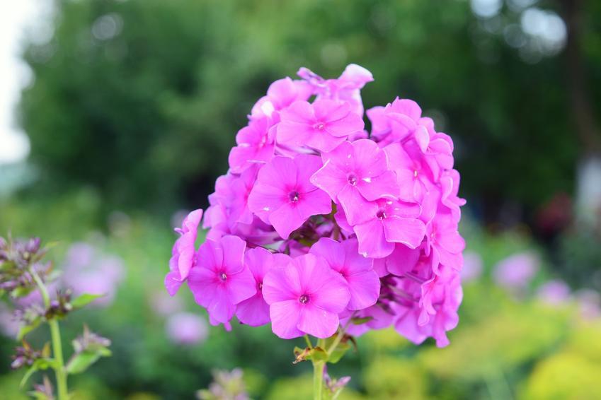 Płomyk wiechowaty czy też floks w czasie kwitnienia, a także uprawa i pielęgnacja