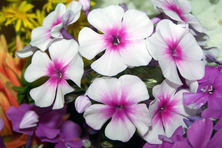 Floks czy też płomyk wiechowaty w czasie kwitnienia, a także uprawa i pielęgnacja