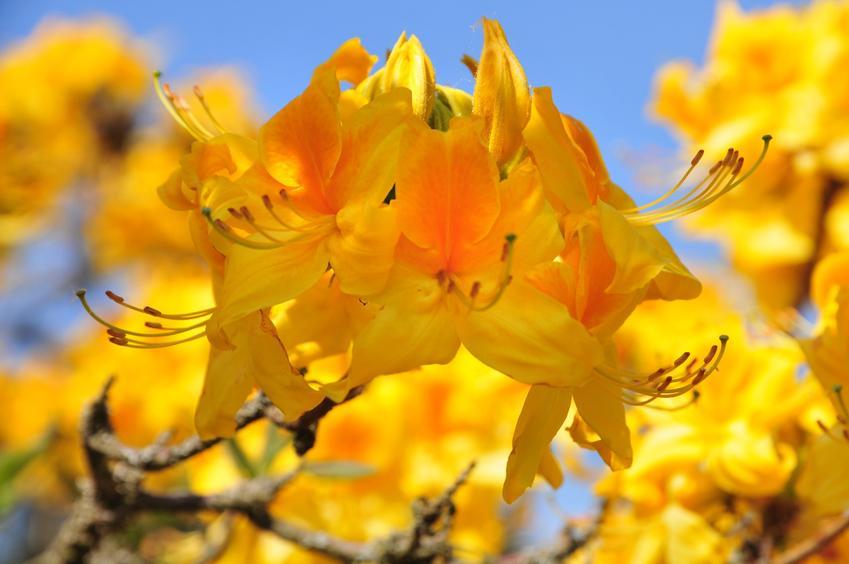 Różanecznik japoński lub azalia japońska w ogrodzie w czasie kwitnienia, a także jej uprawa i odmiany