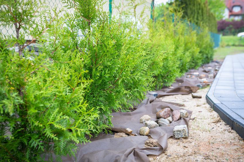 Tuja brabant posadzona świeżo w ogrodzie, a także sadzenie, uprawa, przycinanie i cena tui