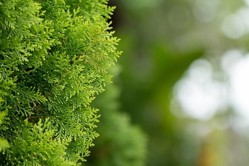 Tuja szmaragd posadzona w ogrodzie, a także sadzenie, uprawa, przycinanie i cena tui