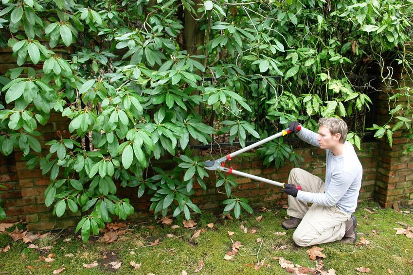 Przycinanie rododendronów przez mężczyznę w ogrodzie, a także pielęgnacja i cięcie rododendronów