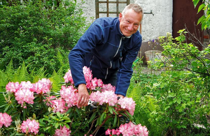 Mężczyzna przycinający rododendrony, a także przycinanie rododendronów, cięcie rododendronów