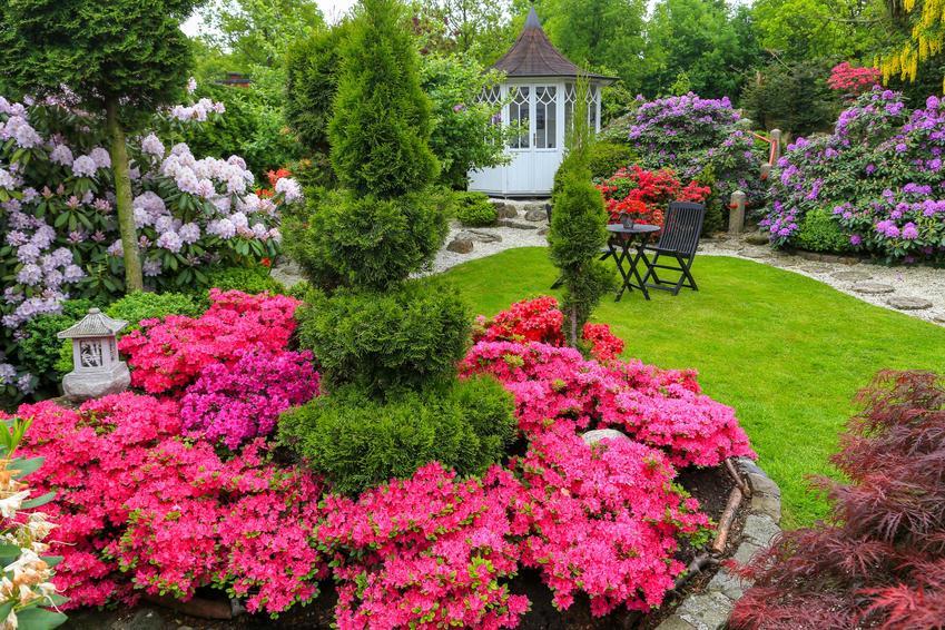 Różanecznik w pięknym ogrodzie w czasie kwitnienia oraz różanecznik alpejski, różanecznik japoński