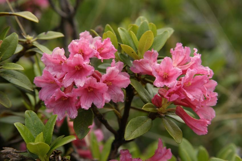 Różanecznik alpejski  w czasie kwitnienia, a także różanecznik olbrzymi w czasie uprawy