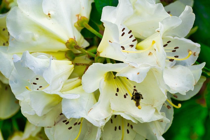 Różanecznik olbrzymi w czasie kwitnienia, a także różanecznik alpejski i ich uprawa