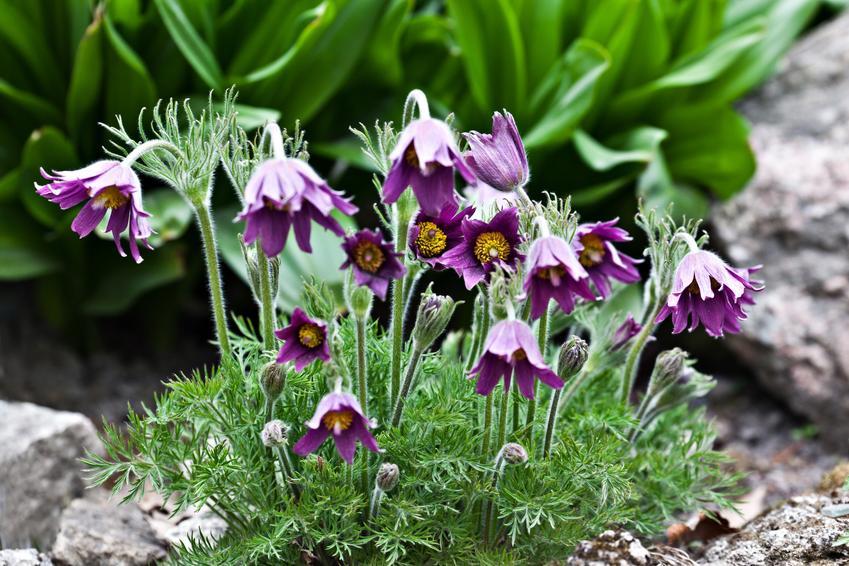 Kwiat sasanka zwyczajna w czasie kwitnienia, a także jej uprawa