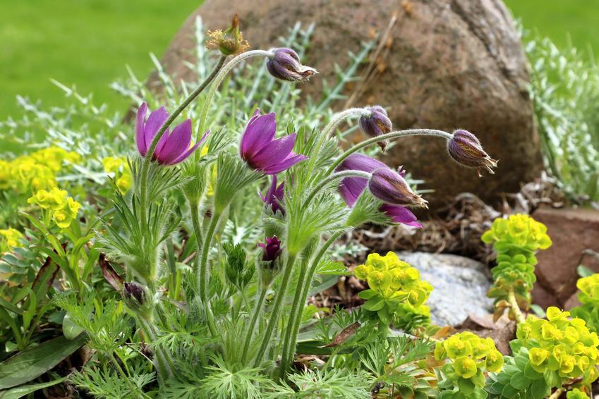 Kwiat sasanka zwyczajna w ogrodzie w czasie kwitnienia oraz jej uprawa i pielęgnacja
