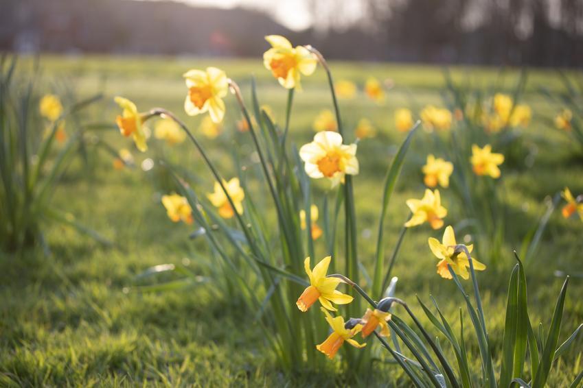 Żonkile w czasie kwitnienia, a także sadzenie żonkili, uprawa i pielęgnacja