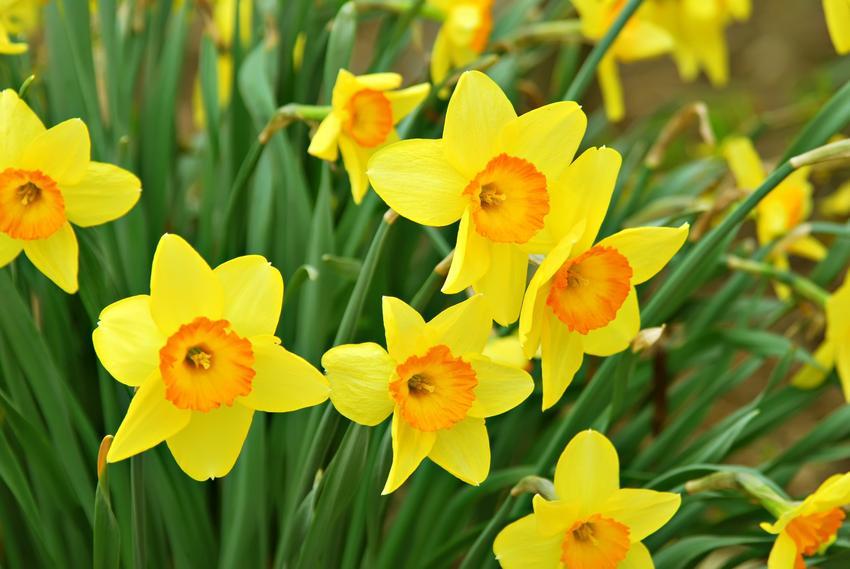 Żonkile i zbliżenie na ich kwiaty, a także sadzenie żonkili, uprawa i pielęgnacja