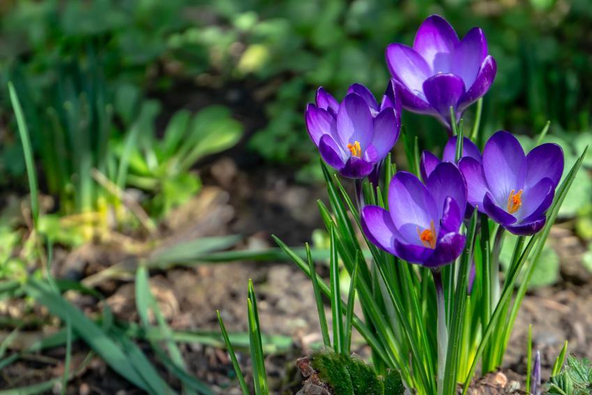 Szafran czy krokus w czasie kwitnienia, a także uprawa i pielęgnacja w ogrodzie