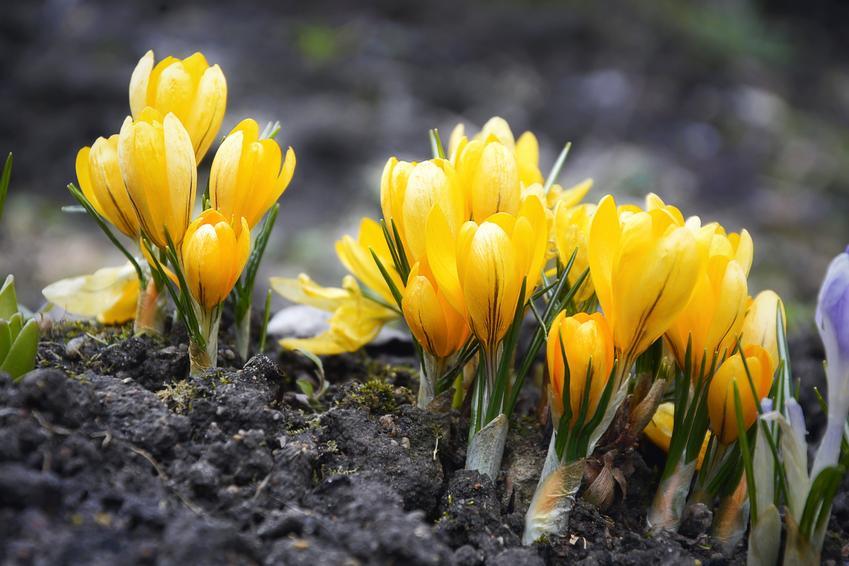 Krokusy w ogrodzie w czasie kwitnienia, a także sadzenie, uprawa i pielęgnacja