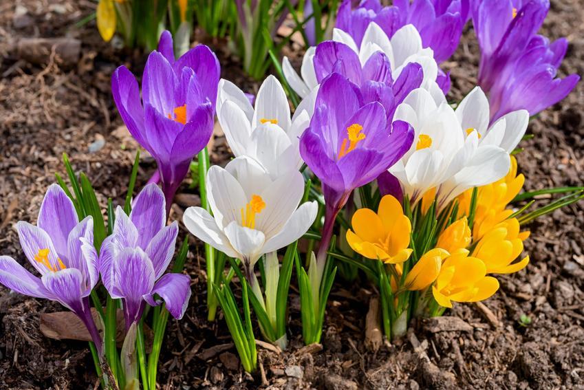 Krokusy w czasie kwitnienia, a także kwiaty wiosenne cebulowe i ich uprawa