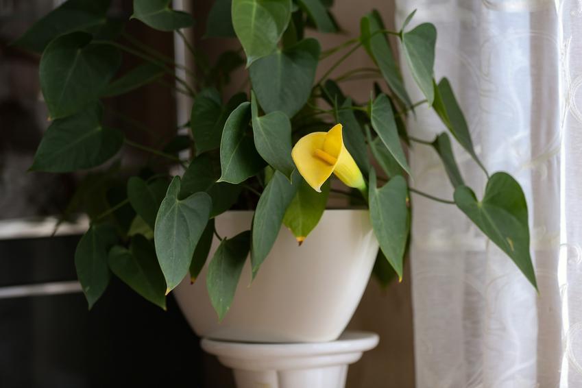 Kalia doniczkowa w domu z żółtym kwiatem, a także uprawa kalii doniczkowej