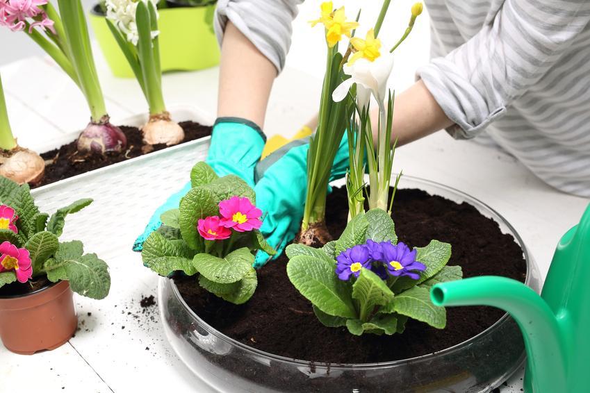Prymulka podczas sadzenia w doniczce, a także prymulka ogrodowa i jej uprawa