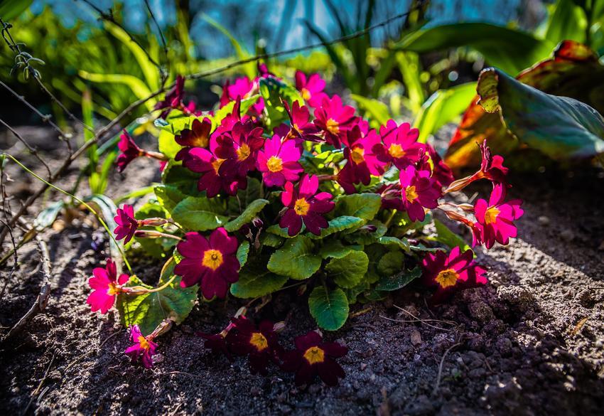 Prymulka w czasie kwitnienia w ogrodzie, czyli prymulka ogrodowa i jej uprawa