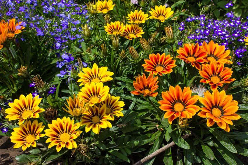 Kwiat gazania w czasie kwitnienia na tle innych kwiatów, a także uprawa gazanii