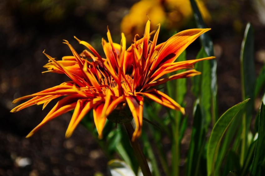 Gazania w czasie kwtinienia i zbliżenie na kwiat, a także rozmnażanie i uprawa gazanii