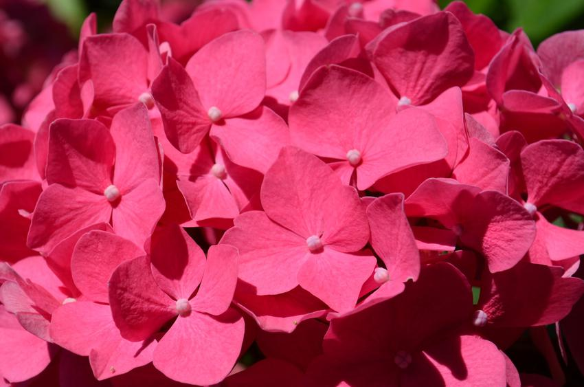 Hortensja hot red, czyli hortensja czerwona w czasie kwitnienia, jej uprawa i pielęgnacja