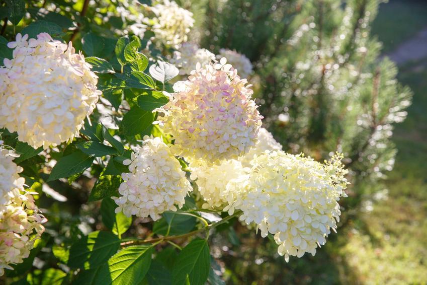 Hortensja candlelight w czasie kwitnienia oraz hortensja bukietowa i jej uprawa