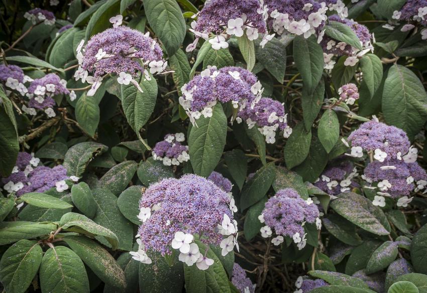 Hortensja omszona, hortensja kosmata w czasie kwitnienia, a także jej uprawa i pielęgnacja