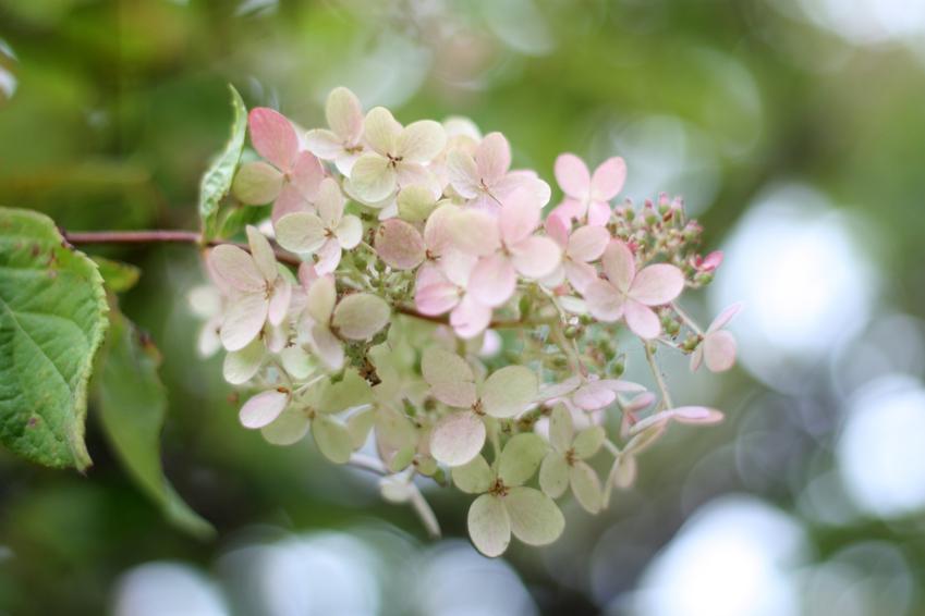 Hortensja pink diamond, z łaciny hydrangea paniculata pink diamond oraz jej uprawa i pielęgnacja