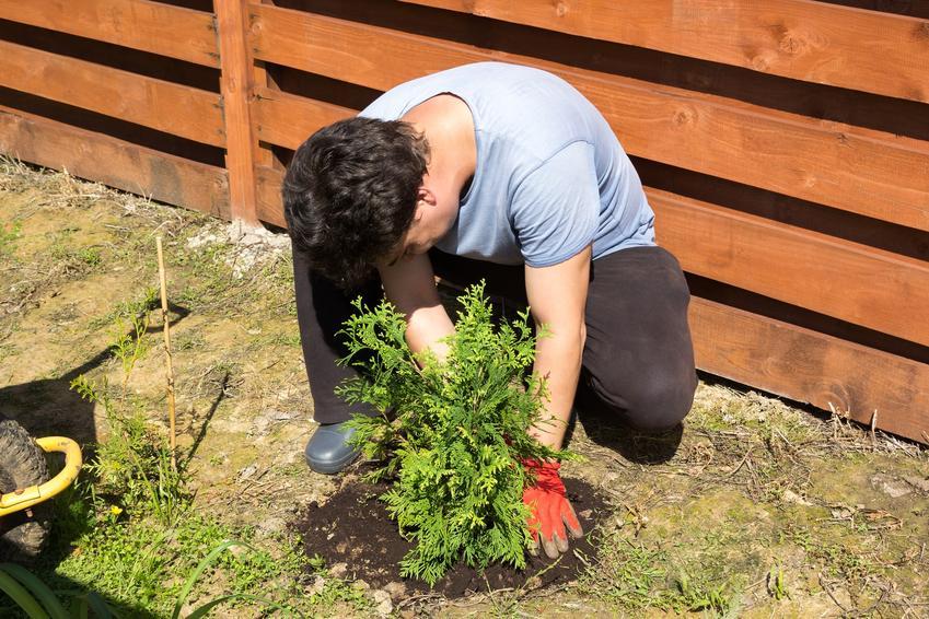 Mężczyzna sadzący tuje oraz jak gęsto sadzić tuje, w jakiej odległości sadzić tuje