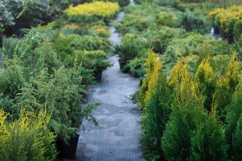 Tuje w ogrodzie oraz jak gęsto sadzić tuje, w jakiej odległości sadzić tuje