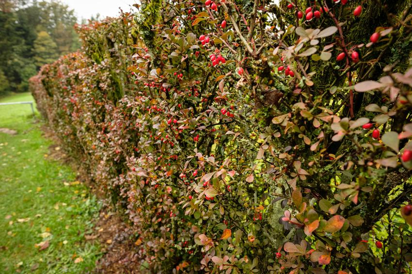 Krzew berberys w ogrodzie w czasie owocowania, a także pielęgnacja i uprawa berberysów