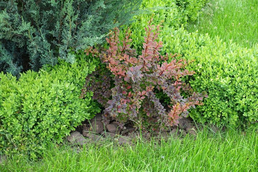 Mały krzew berberys w ogrodzie na tle zieleni, a także uprawa berberysów w ogrodzie