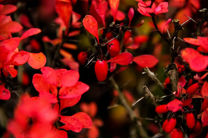 Berberys czerwonolistny, czyli berberys czerwony, berberys thunberga, uprawa, pielęgnacja