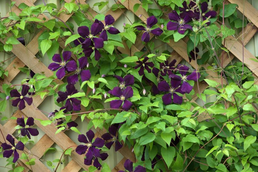 Powojnik, clematis w czasie kwitnienia w ogrodzie, a także uprawa i odmiany