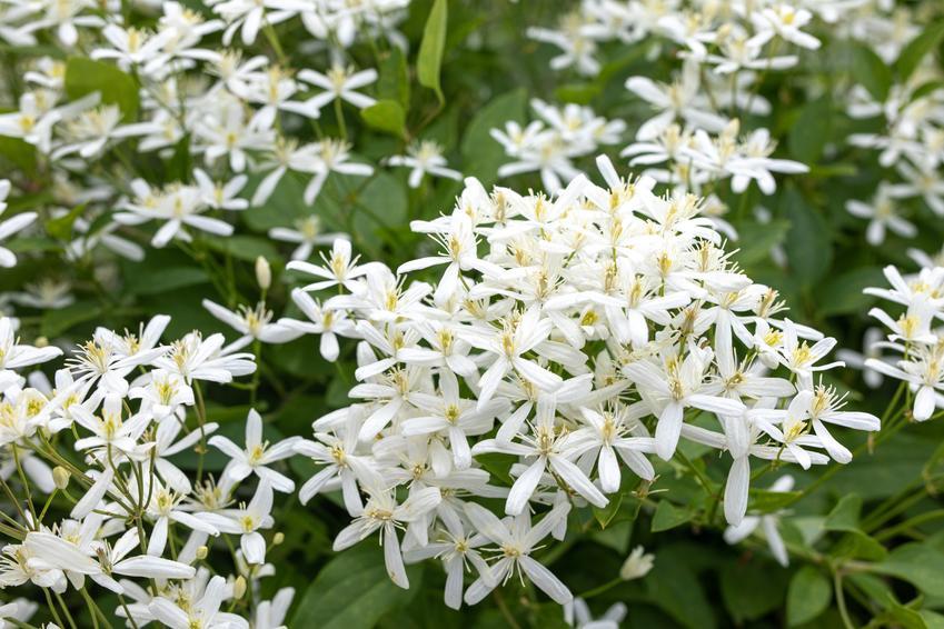 Powojnik, clematis w czasie kwitnienia w ogrodzie, a także uprawa i pielęgnacja